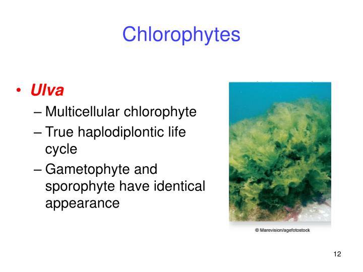 Chlorophytes
