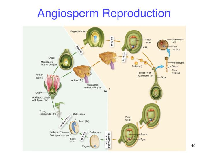 Angiosperm Reproduction