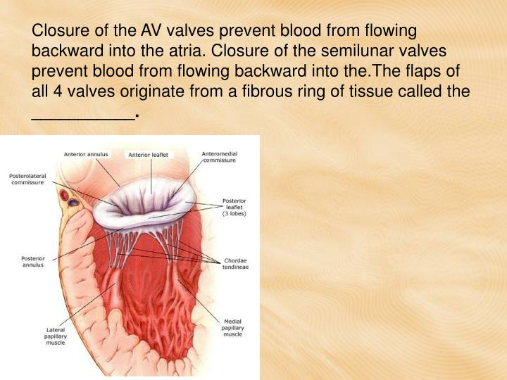 Closure of the AV valves prevent blood from flowing backward into the atria. Closure of the semilunar valves prevent blood from flowing backward into the.The flaps of all 4 valves originate from a fibrous ring of tissue called the