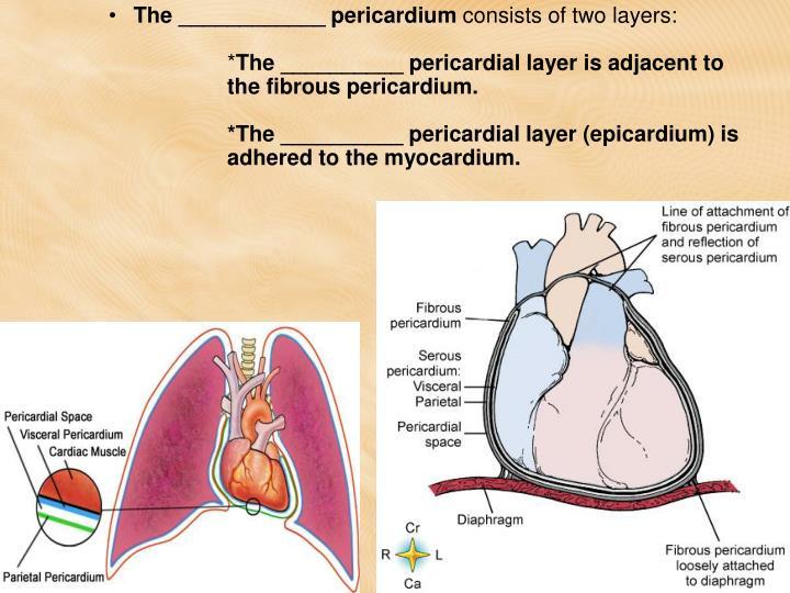 The ____________ pericardium