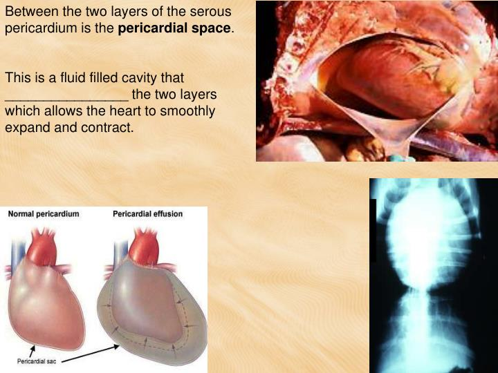 Between the two layers of the serous pericardium is the