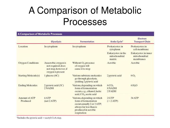 A Comparison of Metabolic Processes