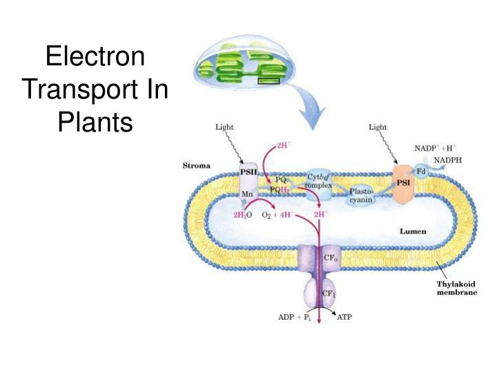 Electron Transport In Plants
