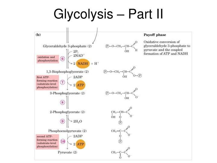 Glycolysis – Part II