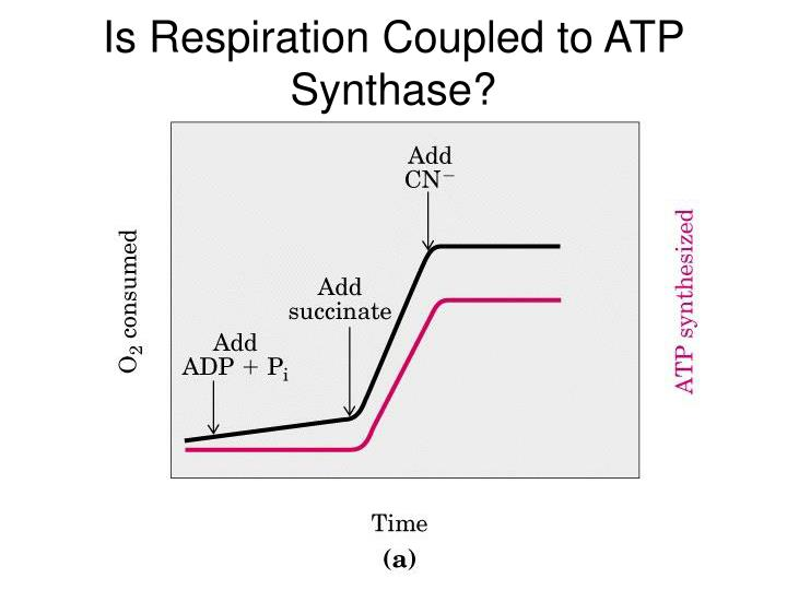 Is Respiration Coupled to ATP Synthase?