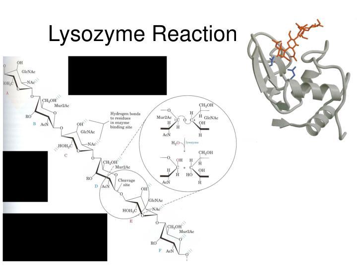 Lysozyme Reaction