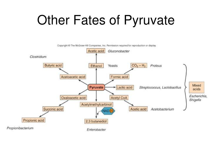 Other Fates of Pyruvate