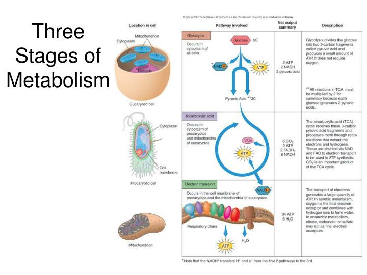 Three Stages of Metabolism