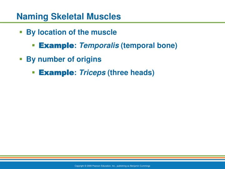 Naming Skeletal Muscles