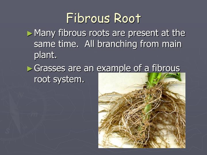 Fibrous Root