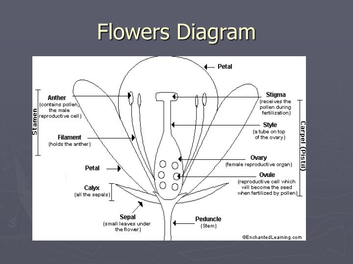 Flowers Diagram