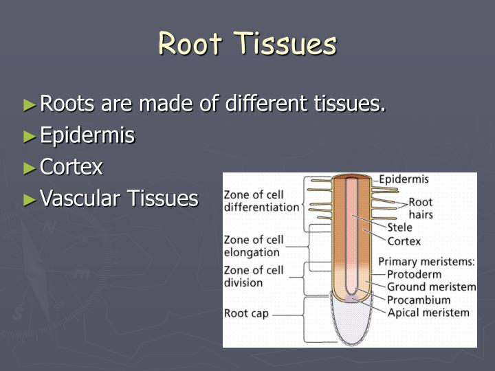 Root Tissues
