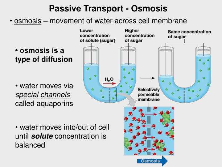 Passive Transport - Osmosis