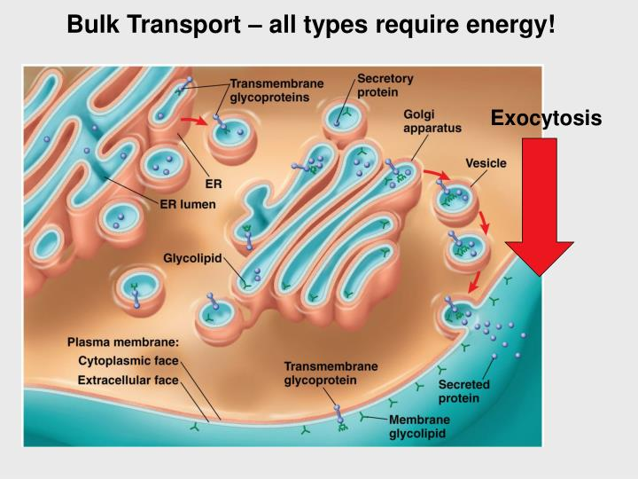 Bulk Transport – all types require energy!
