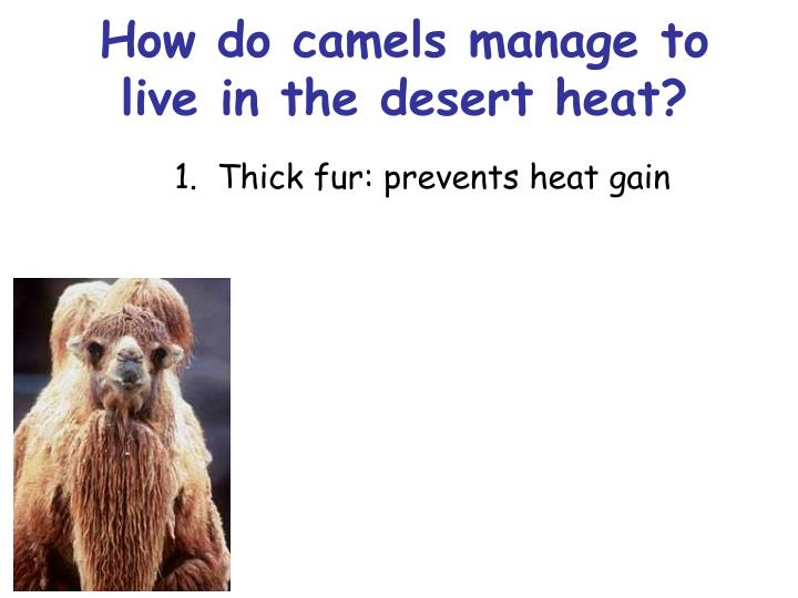 How do camels manage to live in the desert heat?