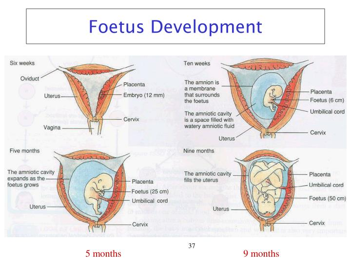 Foetus Development