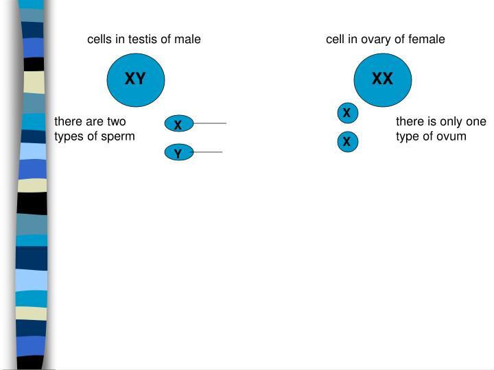 cells in testis of male