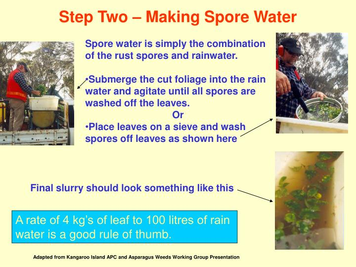 Spore water is simply the combination of the rust spores and rainwater.