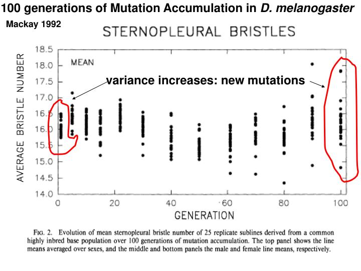 100 generations of Mutation Accumulation in