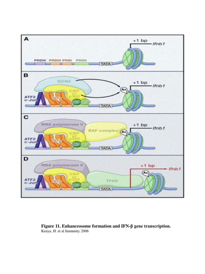 Figure 11. Enhanceosome formation and IFN-β gene transcription.