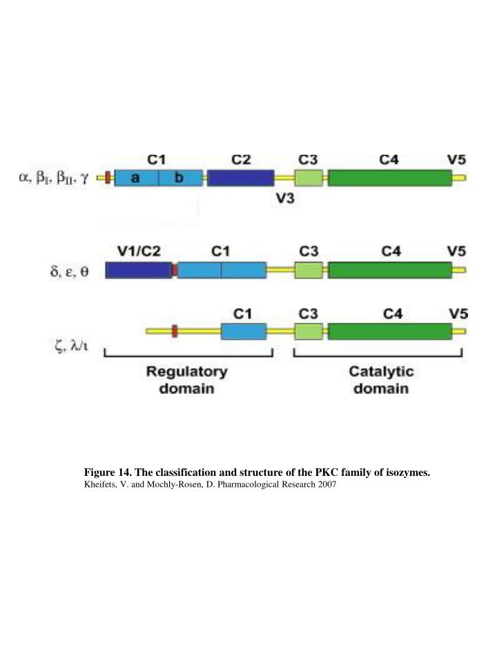 Figure 14. The classification and structure of the PKC family of isozymes.