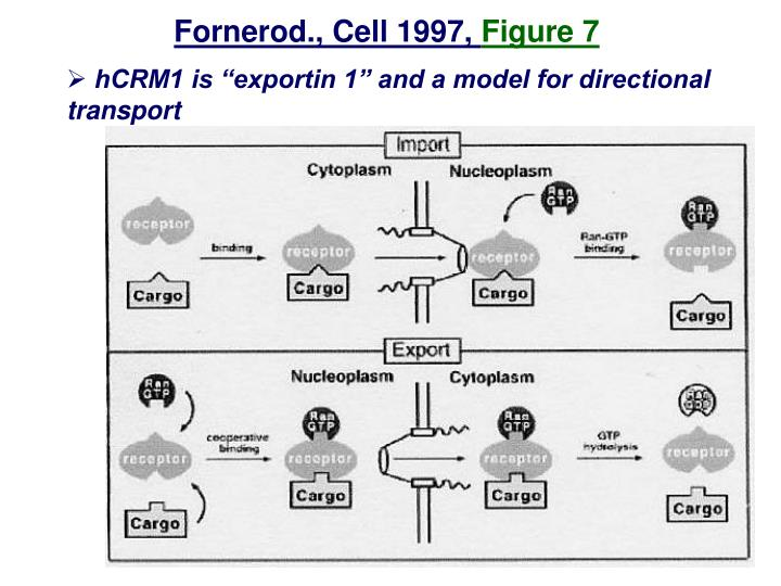 Fornerod., Cell 1997,