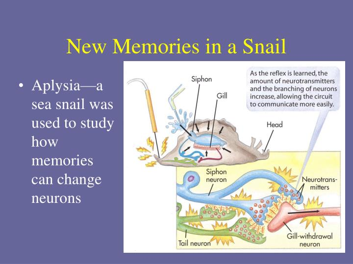 New Memories in a Snail
