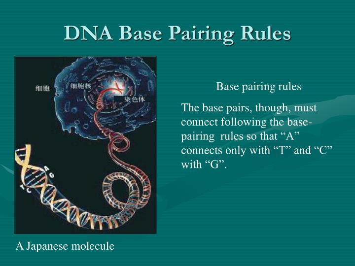 DNA Base Pairing Rules
