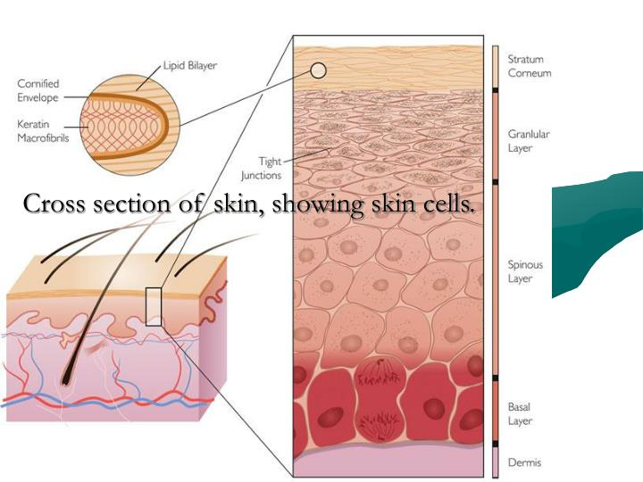 Cross section of skin, showing skin cells.