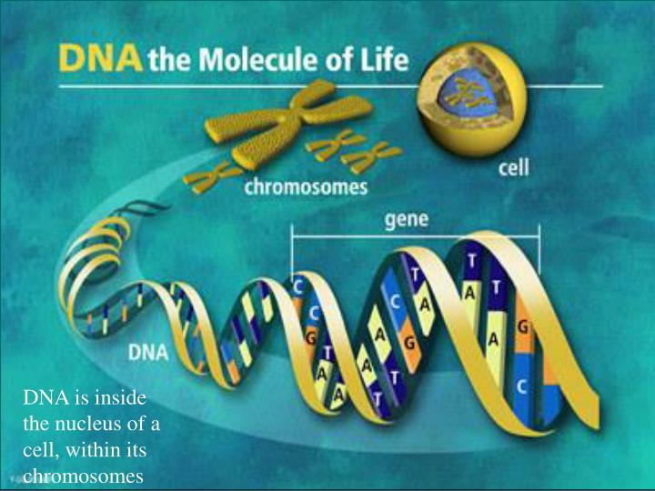 DNA is inside the nucleus of a cell, within its chromosomes