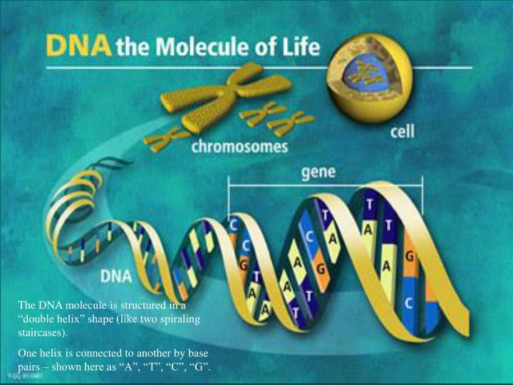 "The DNA molecule is structured in a ""double helix"" shape (like two spiraling staircases)."