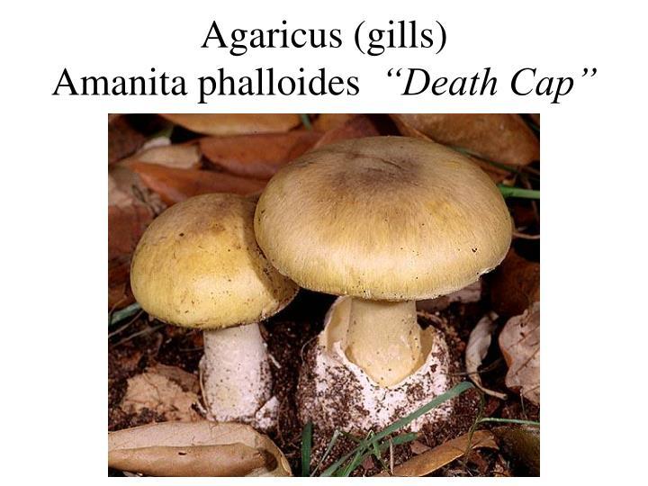 Agaricus (gills)