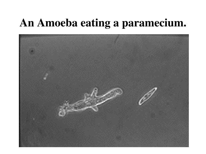 An Amoeba eating a paramecium.