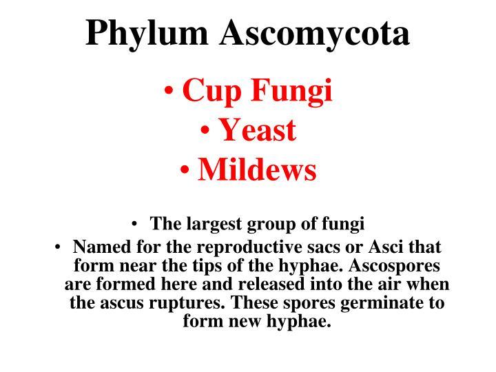 Phylum Ascomycota