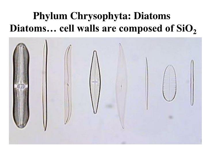 Phylum Chrysophyta: Diatoms