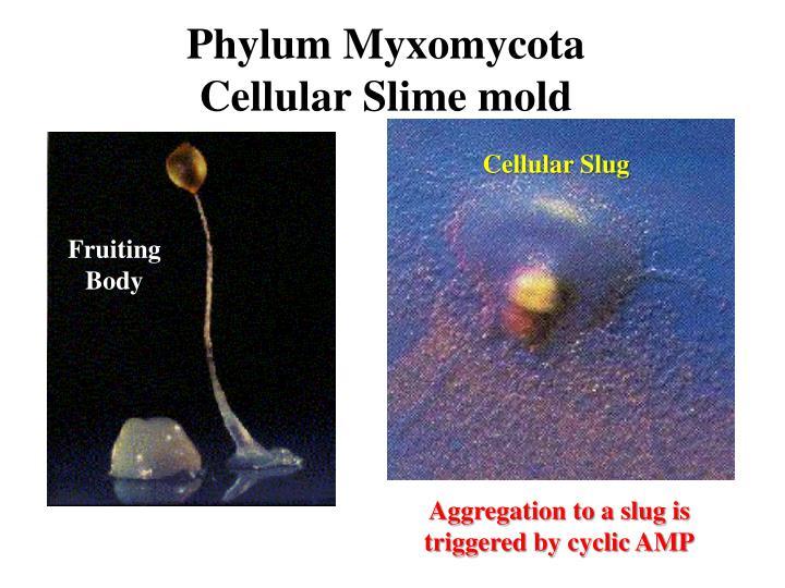 Phylum Myxomycota