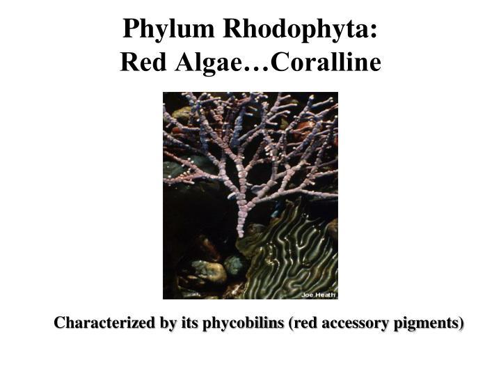 Phylum Rhodophyta: