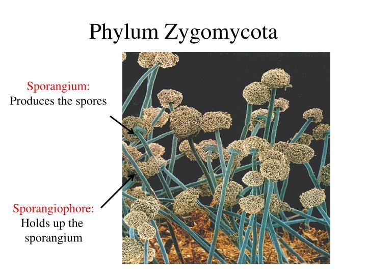 Phylum Zygomycota