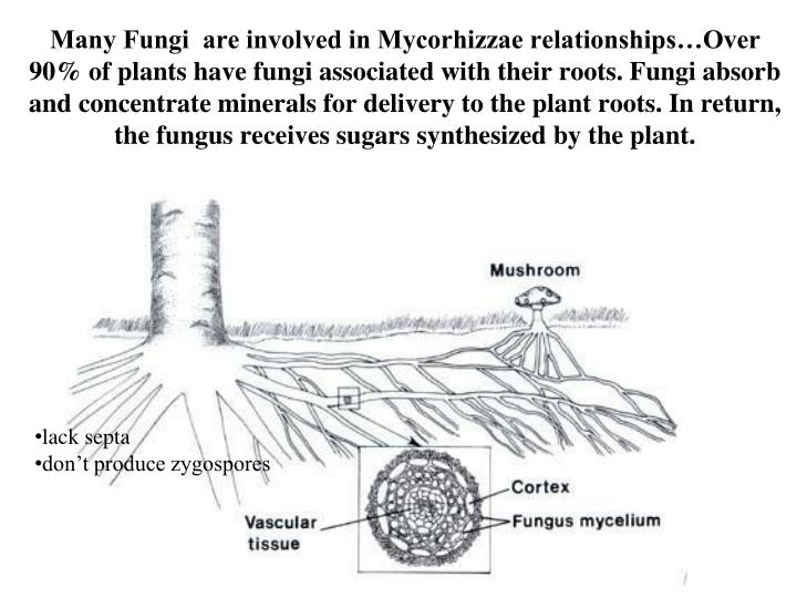 Many Fungi  are involved in Mycorhizzae relationships…Over 90% of plants have fungi associated with their roots. Fungi absorb and concentrate minerals for delivery to the plant roots. In return, the fungus receives sugars synthesized by the plant.