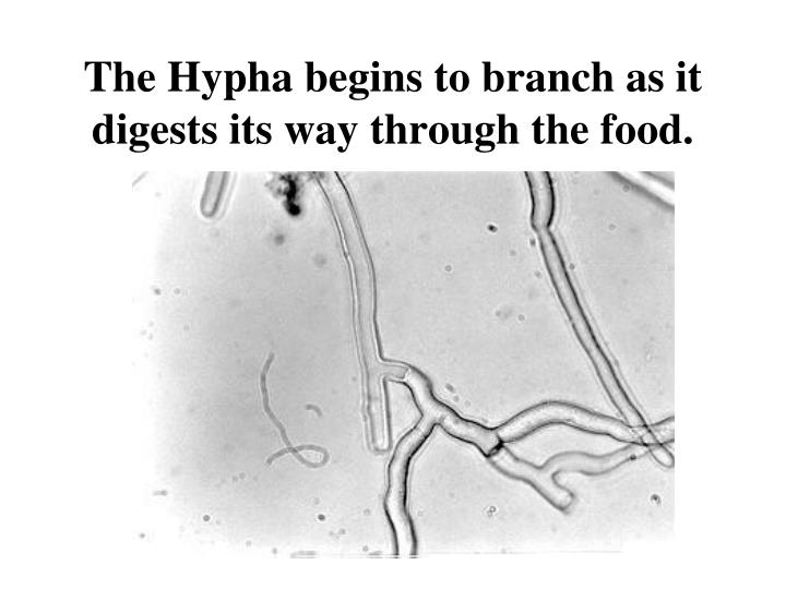 The Hypha begins to branch as it digests its way through the food.