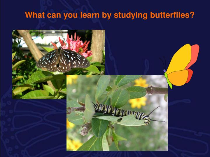 What can you learn by studying butterflies?