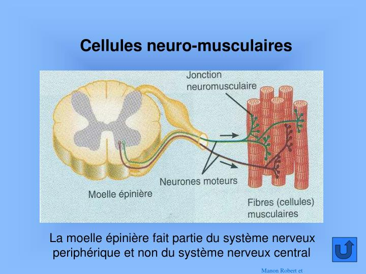 Cellules neuro-musculaires