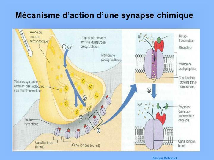 Mécanisme d'action d'une synapse chimique