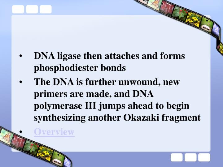 DNA ligase then attaches and forms phosphodiester bonds