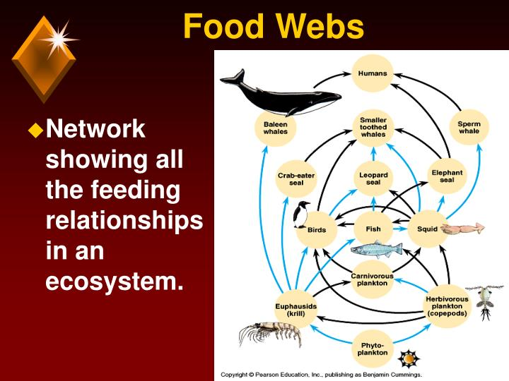 Network showing all the feeding relationships in an ecosystem.