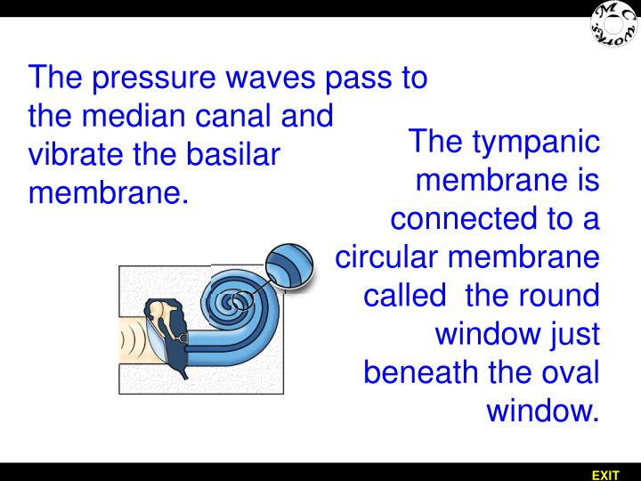 The pressure waves pass to the median canal and vibrate the basilar membrane.