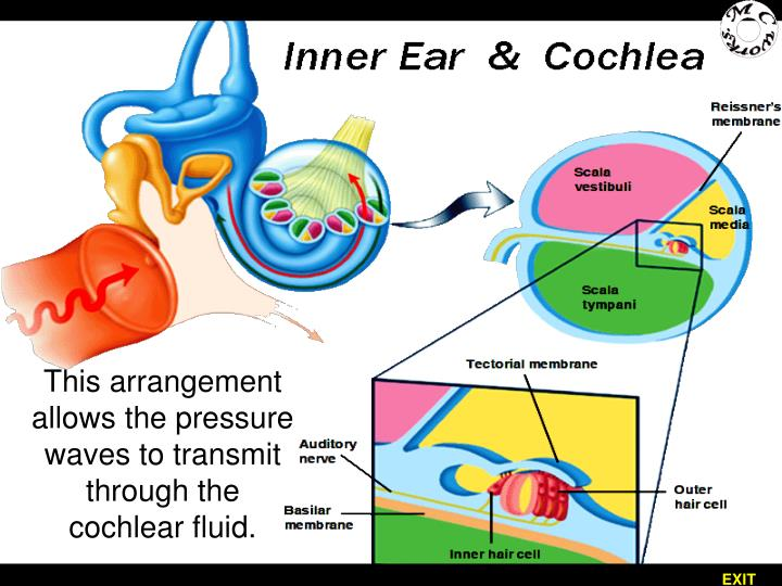 This arrangement allows the pressure waves to transmit through the cochlear fluid.