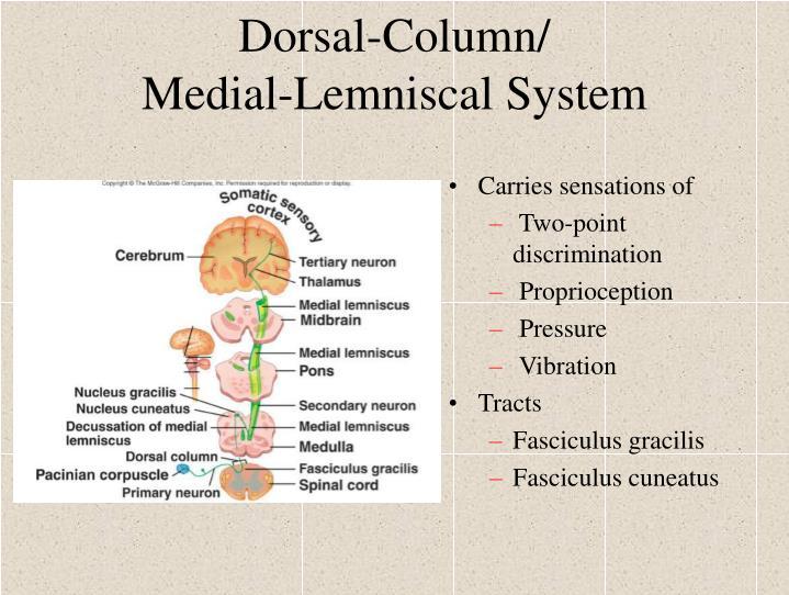 Dorsal-Column/