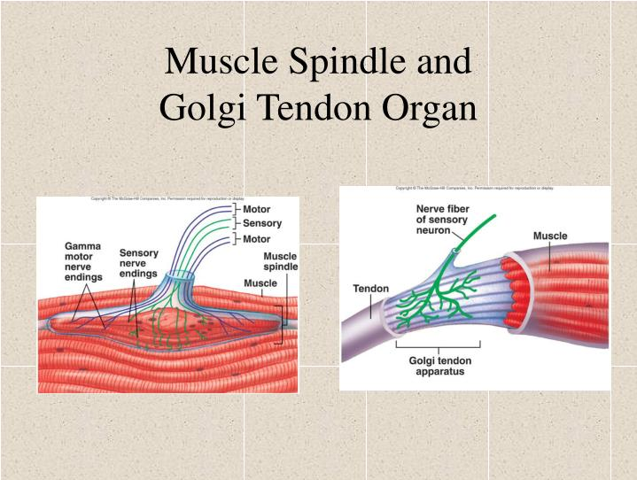 Muscle Spindle and