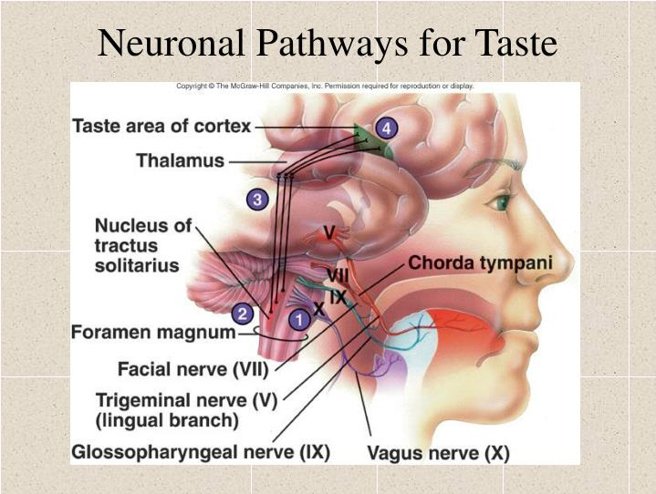 Neuronal Pathways for Taste